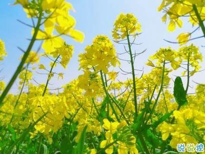 油菜花说说-好美的油菜花说说带图片 油菜花唯美说说配图